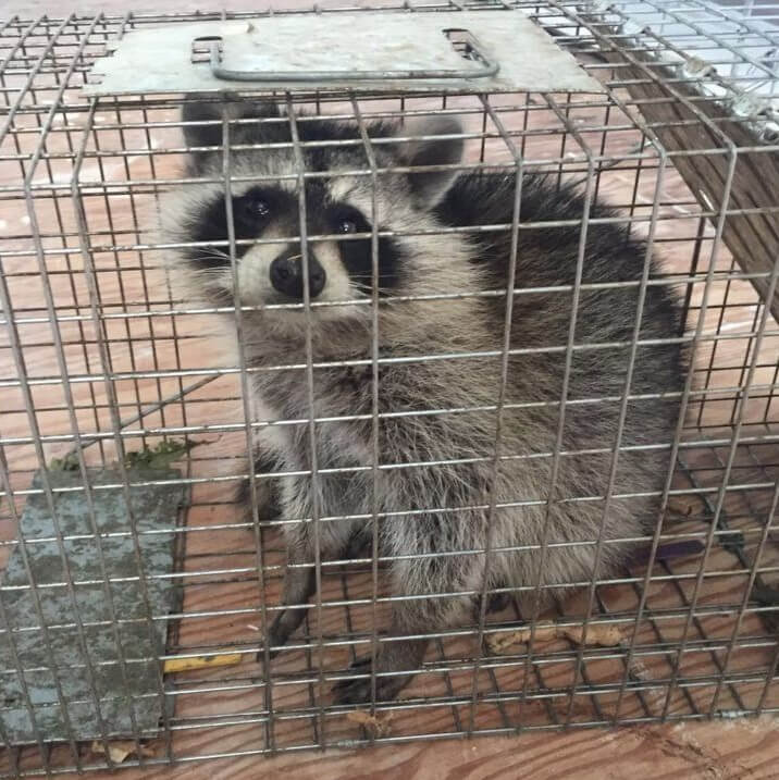 On The Fly Pest Solutions raccoon inside a cage
