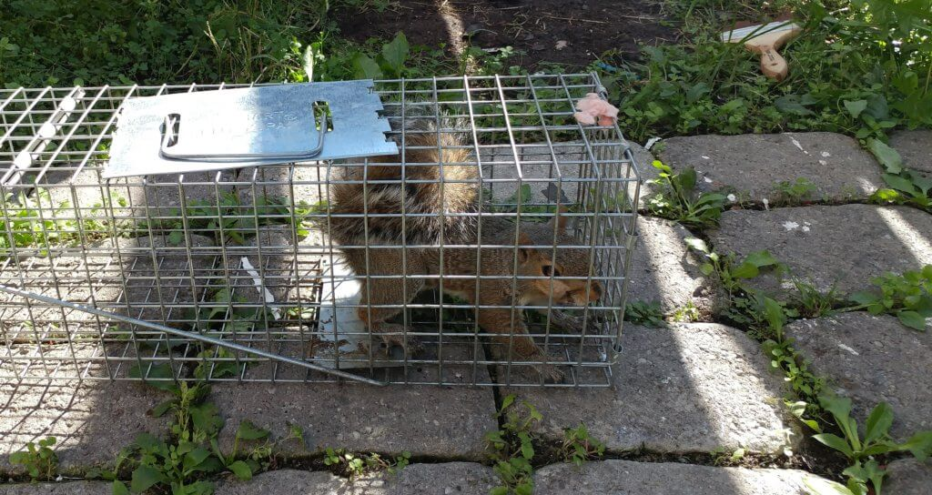 nuisance squirrel trapped in Marriottsville
