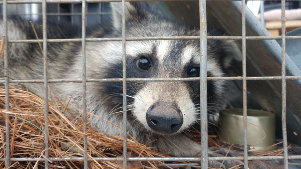 image of trapped raccoon in