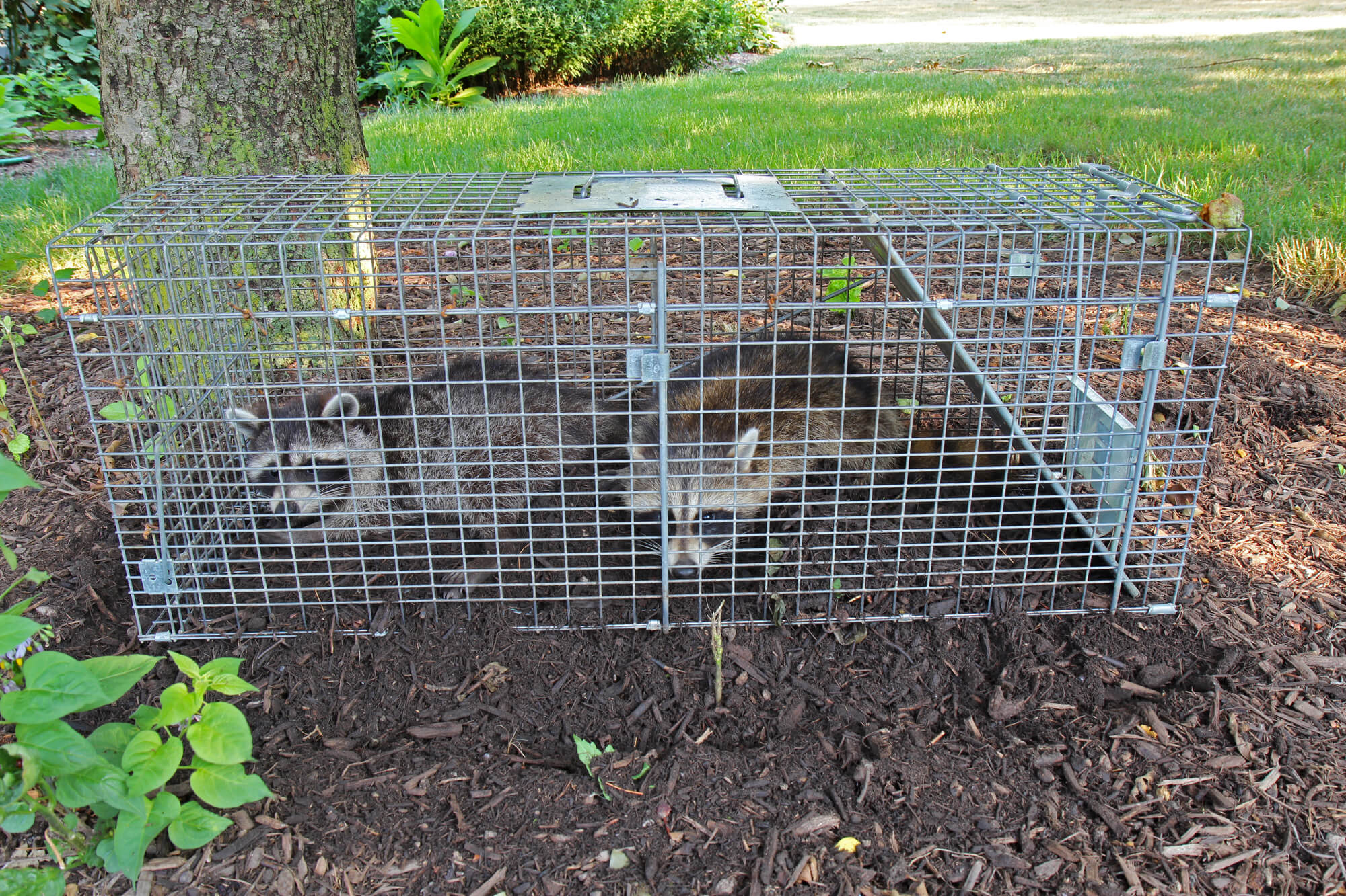 Image of Two small American raccoons caught in a live trap in a homeowners back yard