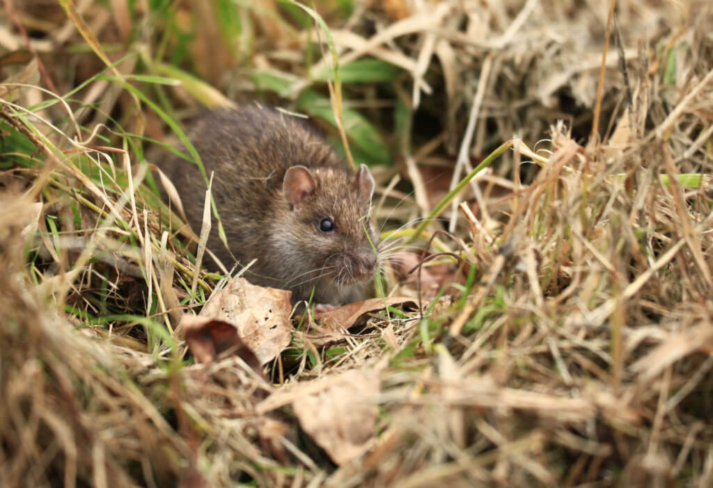 Gray Rat On The Fly Pest Solutions