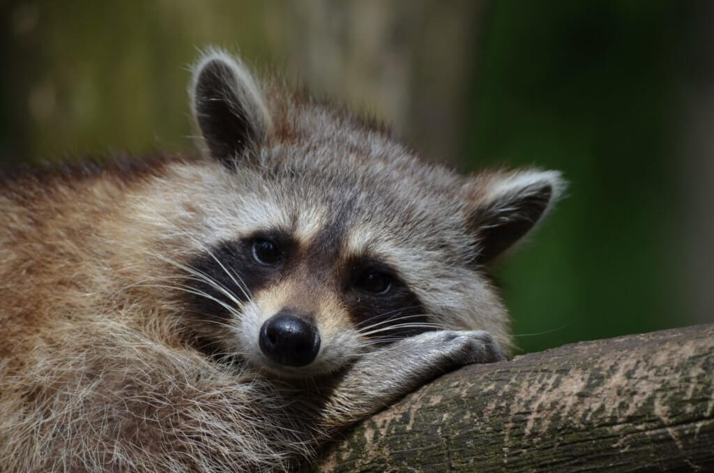 Raccoon - On the Fly Pest Solutions - 1920 X 1272