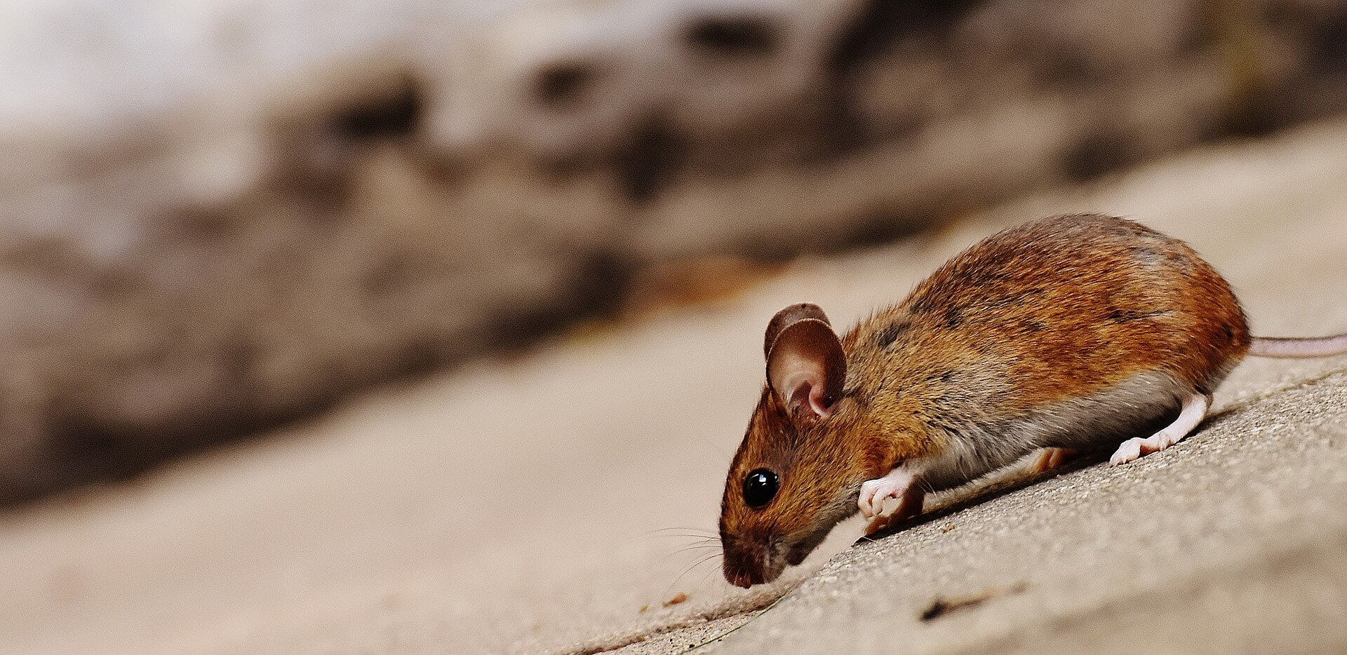 Mouse Image - On the Fly Pest Solutions 1920 X 934 JPG