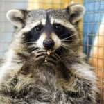 picture of raccoon eating rabies bait
