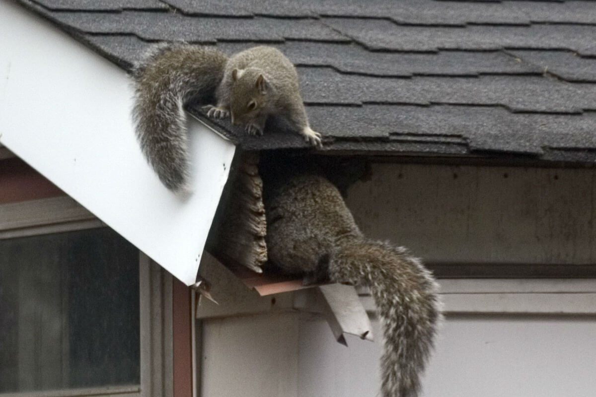 picture of squirrel damage to home