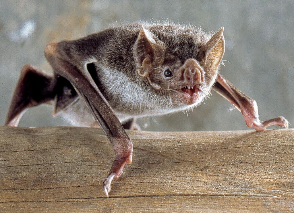 image of Baltimore bat