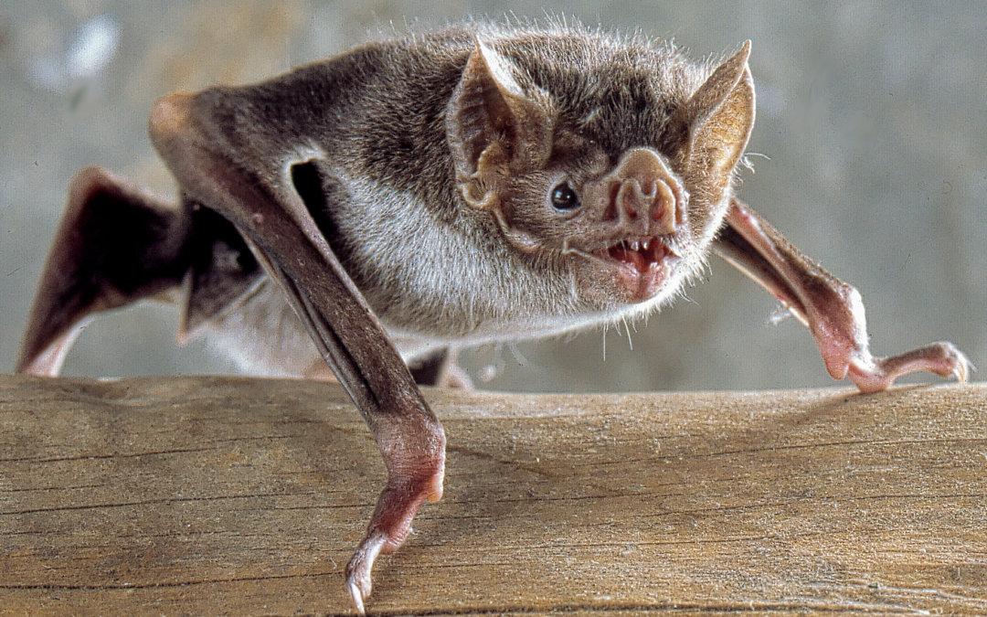 New England Bat Populations Struggling
