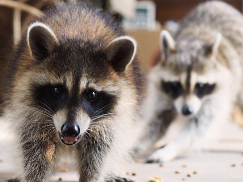 image of raccoons