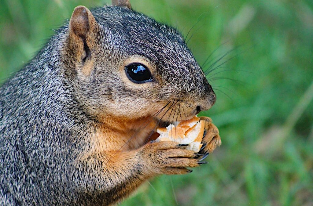 Nuisance Squirrels in Maryland