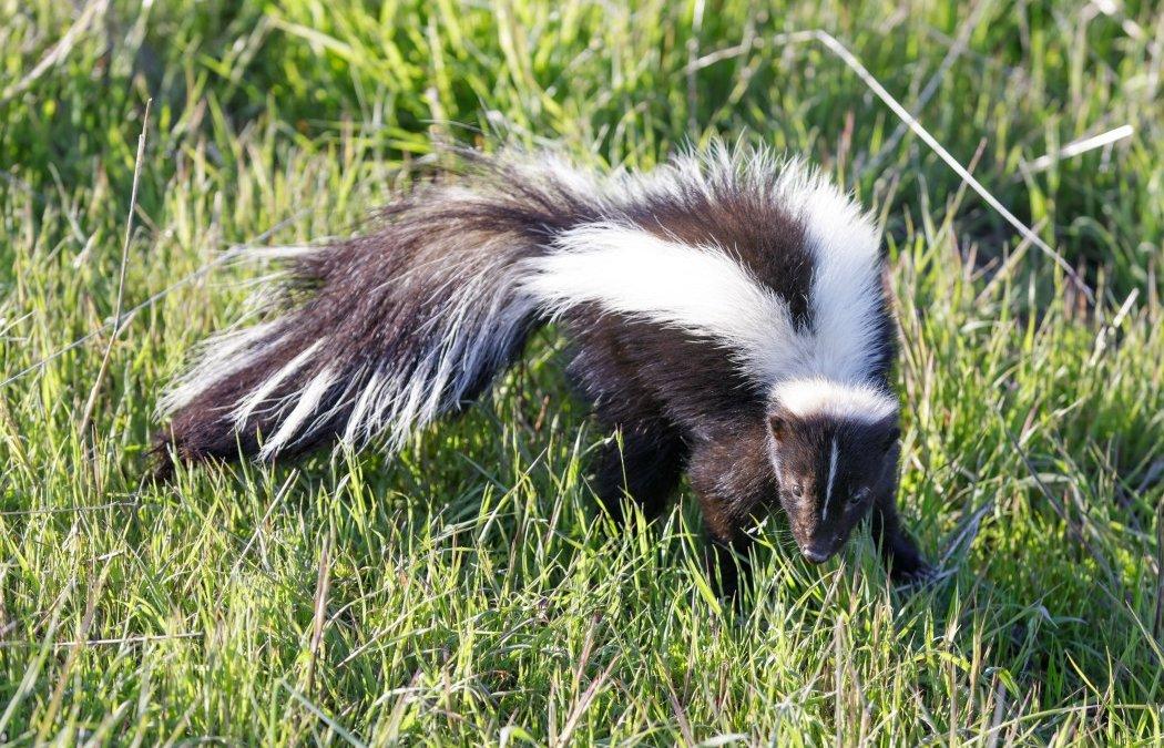 Skunks In Our Backyards