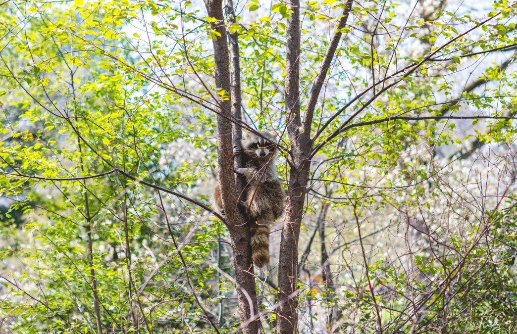 Rabid Raccoon Found in Maryland