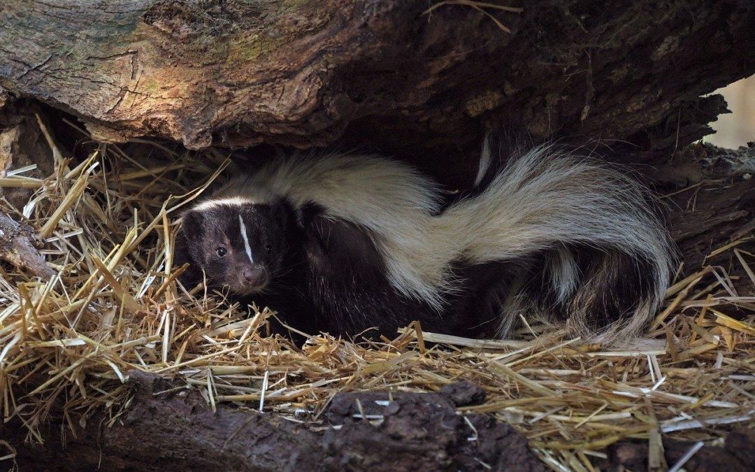 Skunk Encounters In Maryland