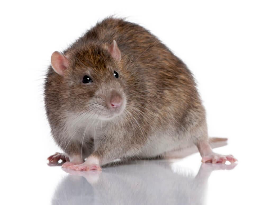 Baltimore Rat Control