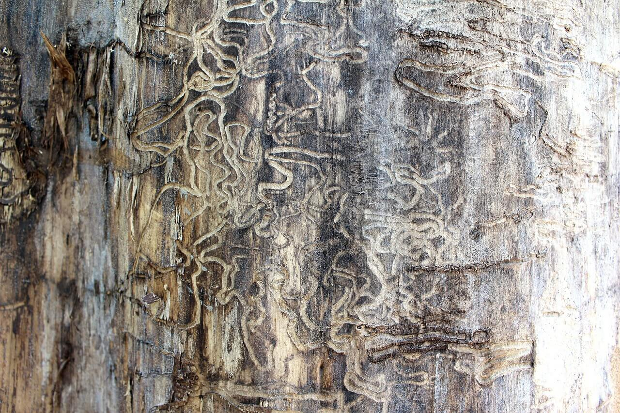 Image of a tree that has been damaged by termites