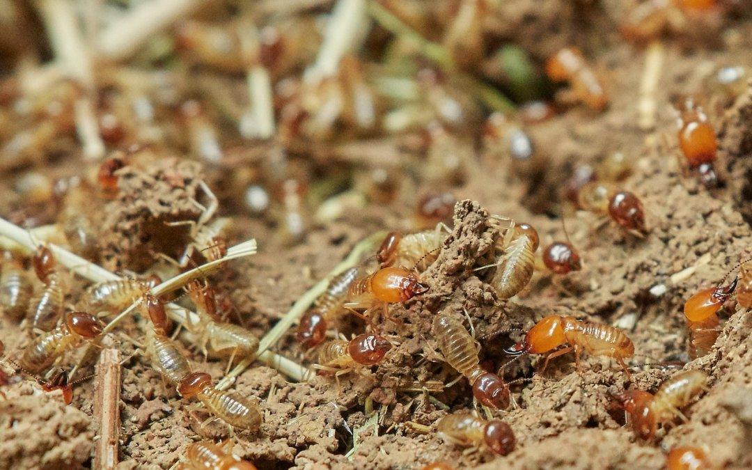 Image of termite infestation