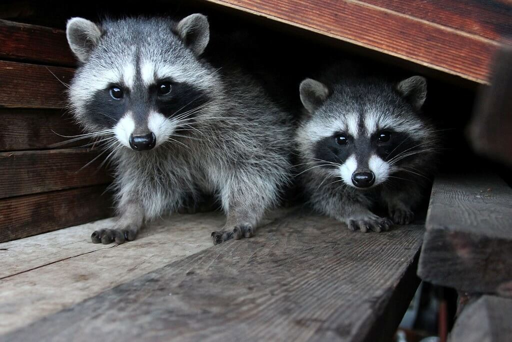Photo of two raccoons found in Maryland Attic